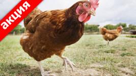 при покупке теплицы курицы молодки в подарок